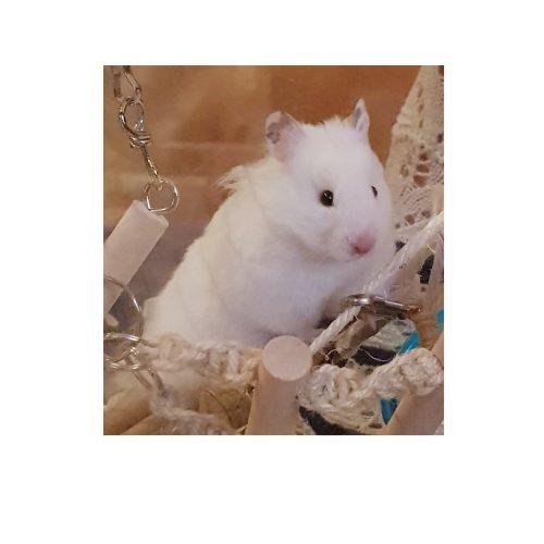 Hamster, Cavia diversen